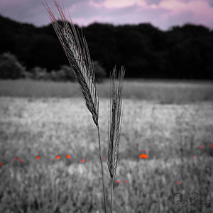 corn strands against a poppy and corn field in the morning psuedo monochrome