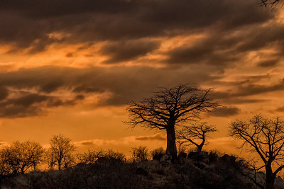 Baobab and Ruaha Dusk
