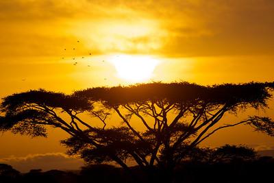 Sandgrouse in Serengeti Dawn