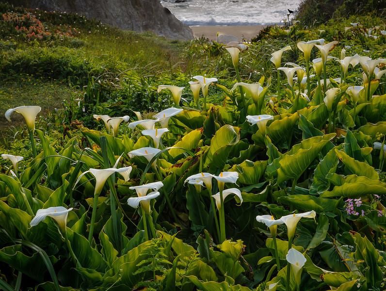 Calla Lilies along Creek