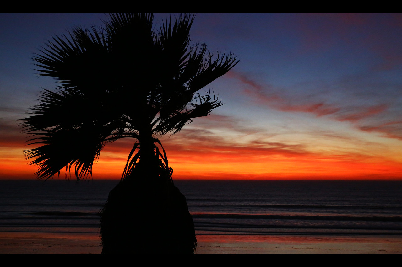 Pacific Beach Palm