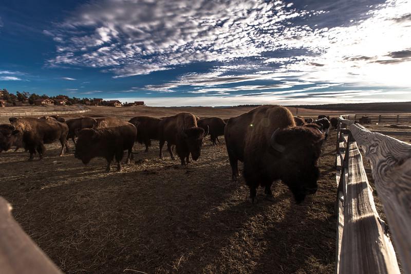 Bufali nello Utah