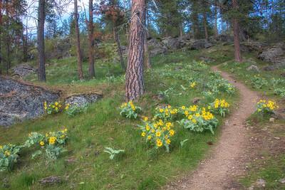 CDA Lake Trail Landscape Wild Sunflowers Arrowleaf Balsamroot 4-28-19 Ponderosa Pines
