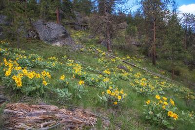 Wild Sunflowers Hillside Lake CDA Arrowleaf Balsamroot Ponderosa Pines Landscape 4-28-19