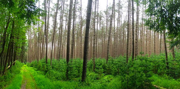 Pine Grove, Cook Forest