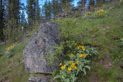 Wild Sunflowers Arrowleaf Balsamroot Hillside Landscape Large Boulder Pine Trees CDA ID 4-28-19