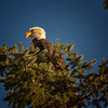 Bald Eagle Perched at Top of Fir Tree