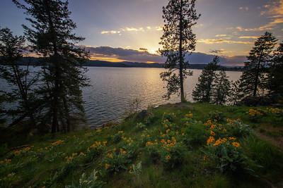 Golden Sunset Sunflowers Arrowleaf Balsamroot HIllside CDA 5-2-19