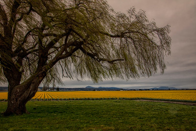 Spring Willow Tree Daffodil Fields Early Morning