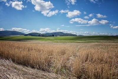 Wheat Stubble Foreground Palouse Wheat Field Spring Morning Hwy 95 near Worley Idaho 4-28-19