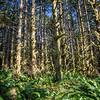 Mossy Alder Rain Forest