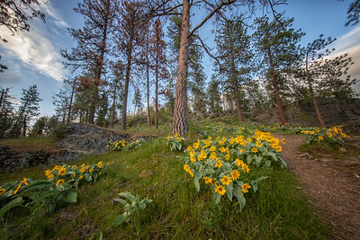 Sunflowers and Ponderosa Pines Hillside CDA 5-2-19