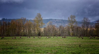 Elk in the Pasture Stormy Spring Afternoon - Panorama