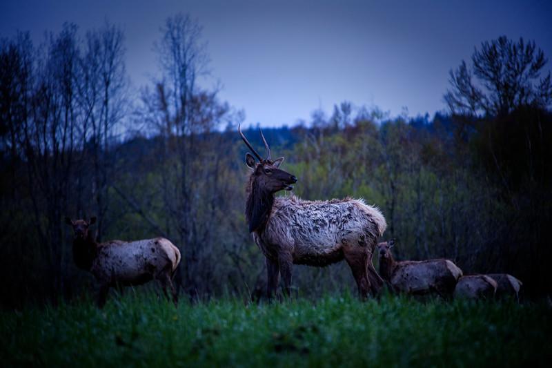 Shaggy Spike Bull Elk