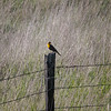 Yellow Headed Blackbird on Fence Post