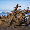Large Stump and Roots Washed Ashore
