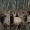 Elk Staring at Camera
