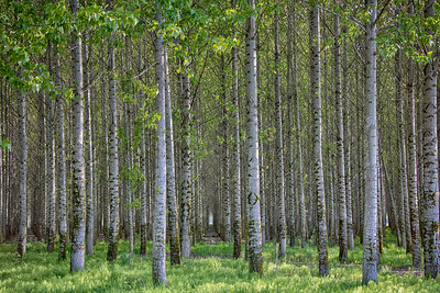 Chehalis Poplar Trees Tunnel HDR