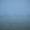 Ghost Elk in Early Morning Fog