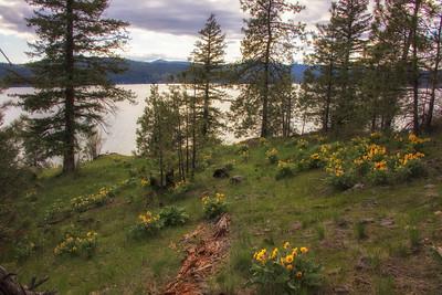 Lake CDA Wildflowers Sunflowers Arrowleaf Balsamroot 4-28-19