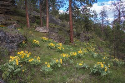 Sunflower Wildflowers Arrowleaf Balsamroot Hillside CDA Idaho 4-28-19