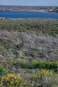 Scablands near Sprague Lake WA Arrowleaf Balsamroot Portrait spring 4-26-19