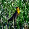 Yellow Headed Blackbird Perched in Grass