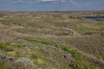 Scablands near Sprague Lake WA Arrowleaf Balsamroot spring 4-26-19