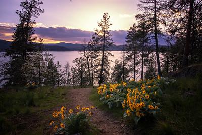 Hillside Trail Sunflowers Arrowleaf Balsamroot Pink Sunset Lake CDA 5-2-19