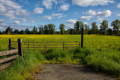 Wild Mustard Yellow Pasture