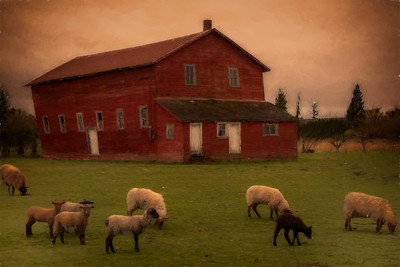 Sheep and Old Barn Dawn's Early Light Burlington Washington Monet Version