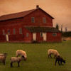 Sheep and Old Barn Dawn's Early Light Burlington Washington Monet Version