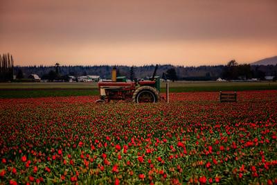 Old Tractor Tulip Field Sunrise
