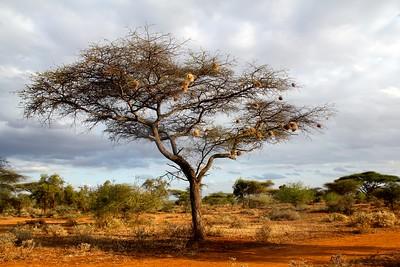 Acacia Tree, Kenya, 2015 Photo credit: Caitlin O'Brien-Carelli