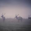 Trio of Bull Elk in the fog