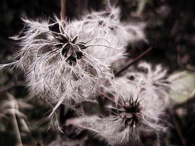 Virgin's Bower Seeds