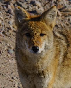 Coyote 3044