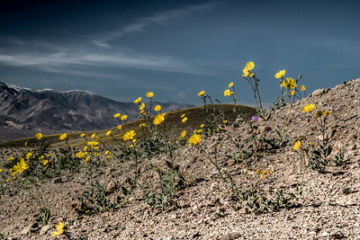 Death Valley Wildflowers at Ashford Mills