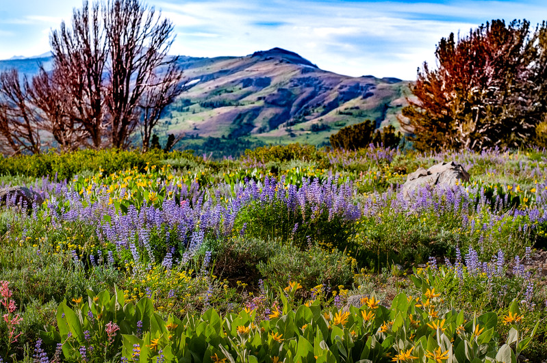wild flowers Carson Pass 9258_