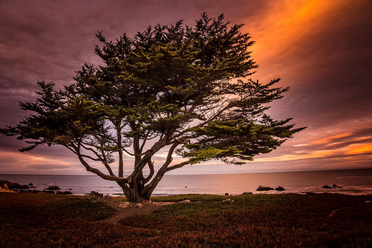 Cypress Tree, Monterey