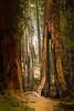 Yosemite 4502 Marposa Grove
