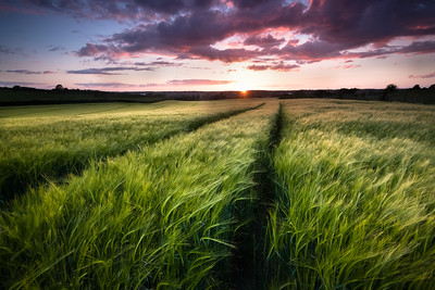 Barley Fields Sunset