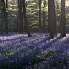 Kingswood Bluebells