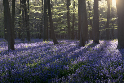 Kingswood Bluebells