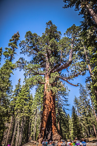 Big Grizzly - Mariposa Grove