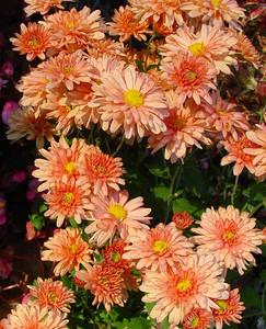 garden-1193 mums apricot