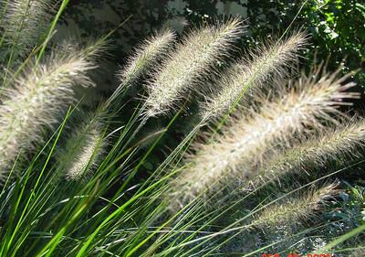 garden-1068 grasses