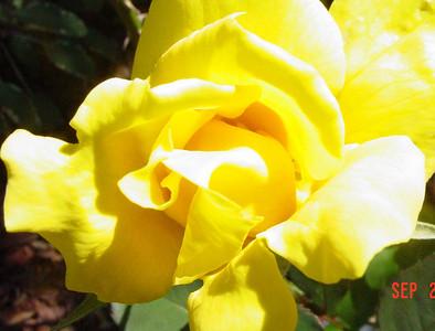 garden-1053 rose