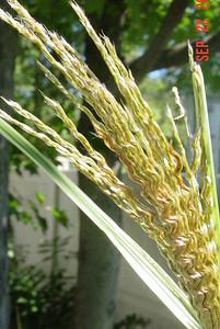 garden-1070 grasses unfolding