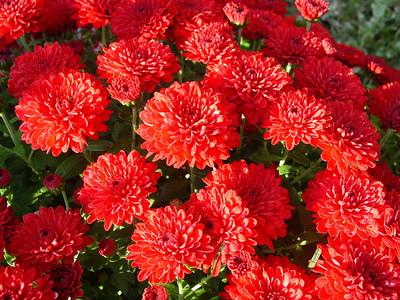 garden-1191 fall mums
